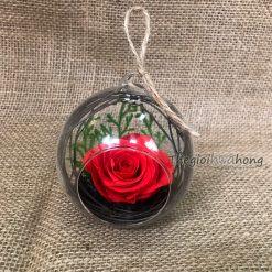 Dream Lover - Hoa Hồng đỏ vĩnh cửu