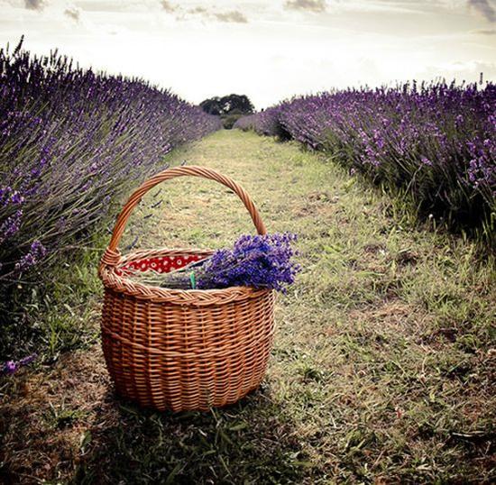 Vùng Provence (Pháp) được mệnh danh là xứ sở hoa oải hương