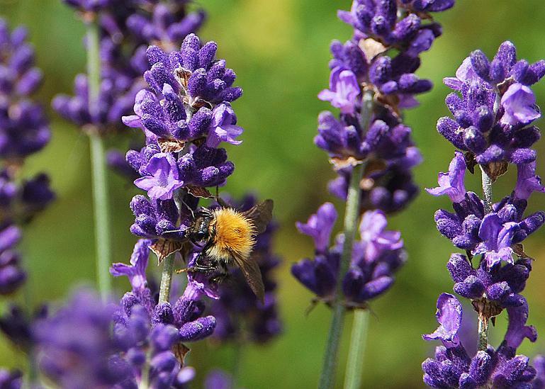 Hoa oải hương - Nhiều tác dụng bất ngờ