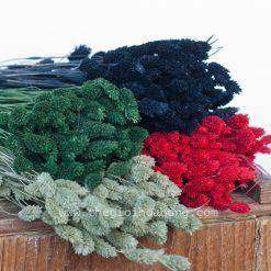 Hoa phalaris khô