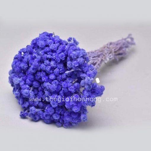 Hoa cúc trường sinh tím xanh
