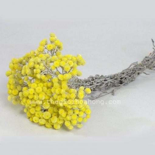 Hoa cúc trường sinh vàng-Helichrysum Immortelle