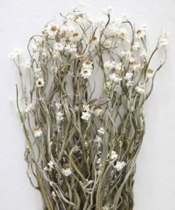 Hoa cúc ammobium khô