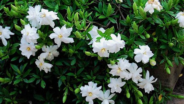 Ý nghĩa của hoa dành dành