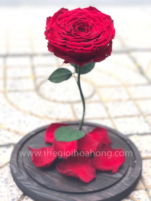 Hoa hồng vĩnh cửu My Queen - RED01