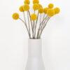 Dried billy button - Craspedia flowers