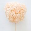 Hoa cẩm tú cầu hồng đào bảo quản – Pink Preserved Hydrangea