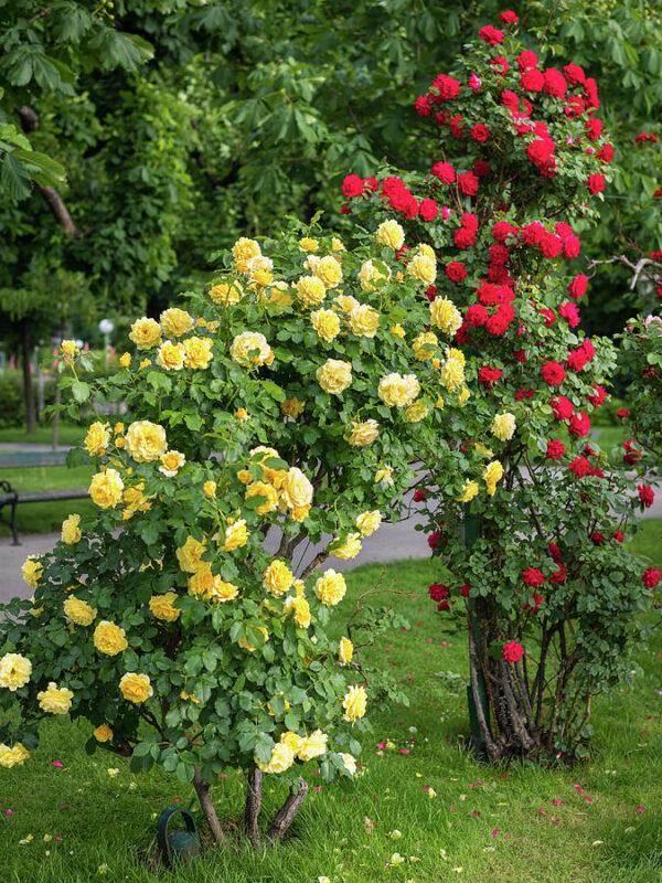 Các loại hoa hồng tốt nhất cho khu vườn nhà bạn